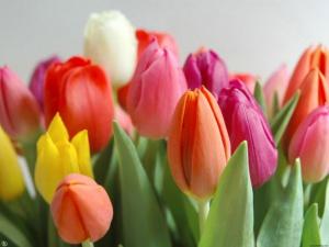 Волгоградки подарят 10тысяч тюльпанов родному городу