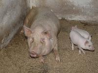 Из-за африканской чумы свиней вряде районов региона введены карантинные мероприятия